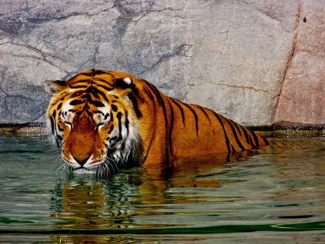 image of a tiger in the water